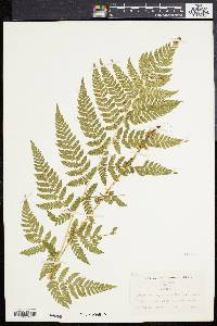 Dryopteris spinulosa image
