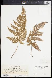 Dryopteris aemula image