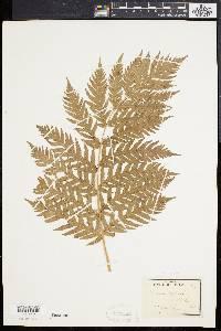Woodwardia fimbriata image