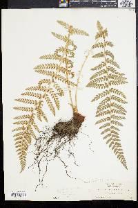 Polystichum dudleyi image